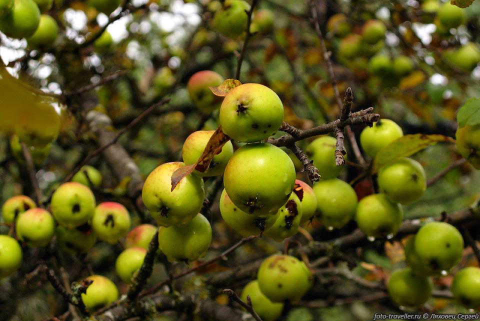 дикие яблоки фото